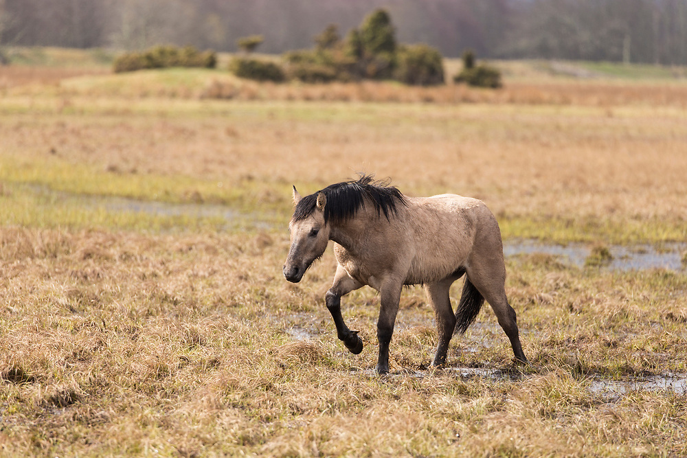 Highland pony used to graze wetland habitat as part of management plan for bird conservation, Strathspey, Scotland