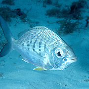 Yellowfin Mojarra inhabit sand areas often near reefs in Tropical West Atlantic; picture taken Key Largo, FL.