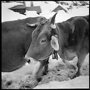 Vaches dans la neige. Cows in the snow. Freilauf im Winter. Der Landwirt und Wildheuer Toni Herger betreibt mit seiner Frau auf dem Urnerboden Berglandwirtschaft unter rauhen Bedingungen. Der Aufenthalt während des Winters war auf dem «Boden» bis 1877 gesetzlich verboten. © Romano P. Riedo