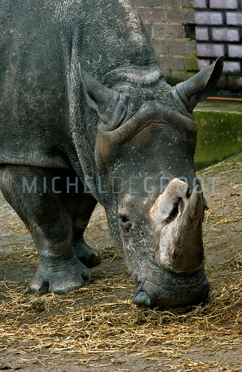 The two female white rhinoceros Petra and Jennifer (pictured) are getting their daily sun bed treatment at the Emmen Zoo in the Netherlands on Tuesday, Februari 15, 2005 . Because of a shortage of sunlight combined with their older age of 23 and 35, the two animals are having skin problems. The upper skin does not replace itself in a natural way and starts to peel off. The sun bed treatment should give the rhinos some compensation for the amount sunlight that they normally would get in the summer or in their natural habitat in Africa. The Emmen Zoo is the very first zoo that started giving this kind of treatment to rhinoceros.