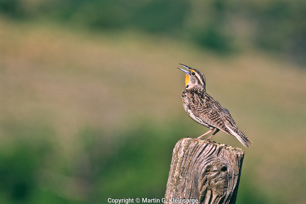 """A singing Western Meadowlark (Sturnella neglecta)  A 9"""" bird.  Brownish above and yellow below with a black V on the breast.  Prefers meadows and grasslands.  South Dakota, USA."""