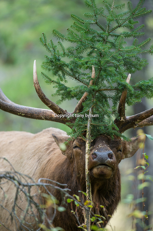 bull elk rubbing pine tree