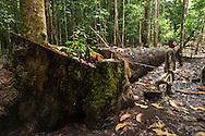 Rutilio Barqueño camina por  un árbol caído durante casería de cangrejos.   Comunidad indígena La Chunga, Comarca Embera – Wounaan en la Provincia de Darién, Panamá.  La Chuga, ubicada en el  Rio Sambu, forma parte del corredor biológico de Bagres con sus inmensos bosques tropicales.