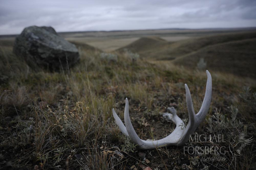 Northern Great Plains region, Grasslands National Park, Saskatchewan, Canada..Mule deer shed and glacial erratic in grassland