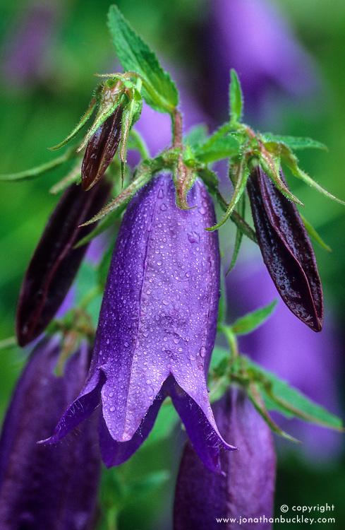 Campanula 'Sarastro' - Bellflower, Harebell
