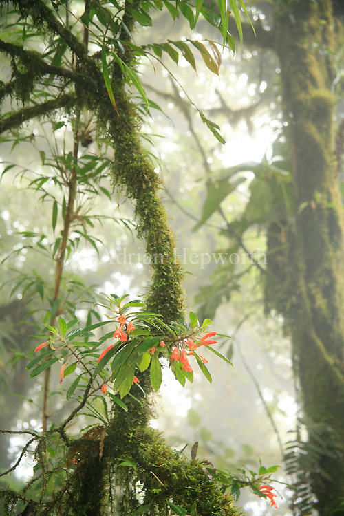 Columea magnifica flowers in Monteverde Cloud Forest Preserve, Costa Rica.<br />