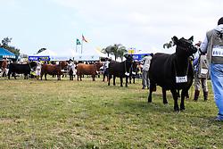 Julgamento da raça Simental 38ª Expointer, que ocorrerá entre 29 de agosto e 06 de setembro de 2015 no Parque de Exposições Assis Brasil, em Esteio. FOTO:Vilmar da Rosa/ Agência Preview