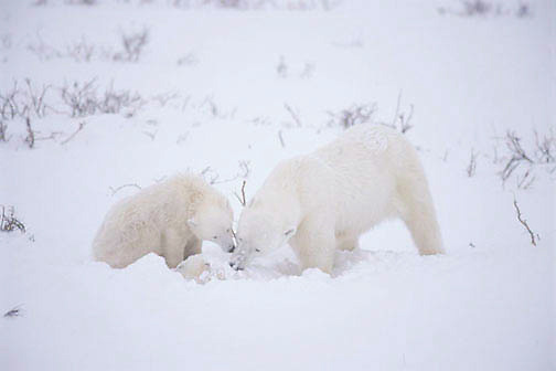 Polar Bear (Ursus maritimus) Mother and cub trying to pick up dead cub in snow. Cape Churchill. Manitoba. Canada. Winter.