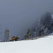 Wolverine, (Gulo gulo) Adult In Bridger mountains. Montana. Winter.  Captive Animal.