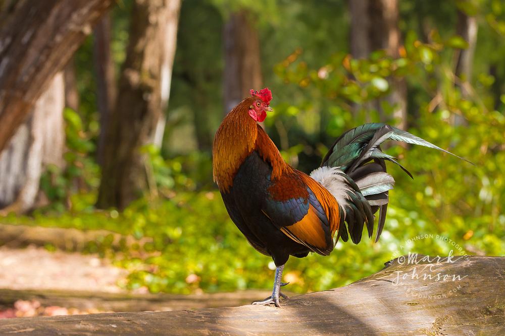 Feral Rooster, Hanalei Bay, Kauai, Hawaii