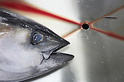The head of a freshly-caught yellow fin tuna fish lies inert on a filleting table at a refrigerated processing factory on Himmafushi island, Maldives. The 50kg carcass has been swimming across the Indian Ocean non-stop since birth and just line-caught by freelance boat crews who share profits for only high-quality fish that passes stringent health tests. The tuna has been in ice since being landed to keep a low-temperature body core so the workers cut out the prime flesh as quickly as possible before boxing the resulting chunks of steak for export by air to Europe and in particular for customers such as UK's Sainsbury's supermarket. The filleting is performed by Sri Lankan ex-fishermen and widowers, having lost their families during the Tsunami. Using sharp knives, they skillfully remove valuable meat and throw away the rest.