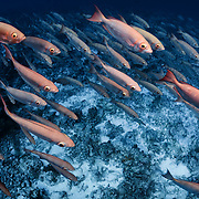 Large school of crescent-tail bigeye fish (Priacanthus hamrur) in deep water, swarming over sand and coral bottom at the entrance to Tiputa Pass in Rangiroa, Tahiti