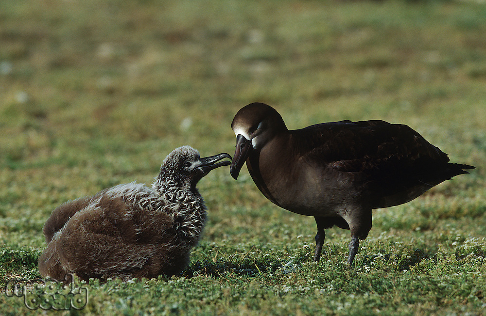 Black-Footed Albatross (Phoebastria nigripes) feeding nestling