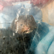 American mink fitted with radio collar in a recovery box before release. Oxford shire uk.