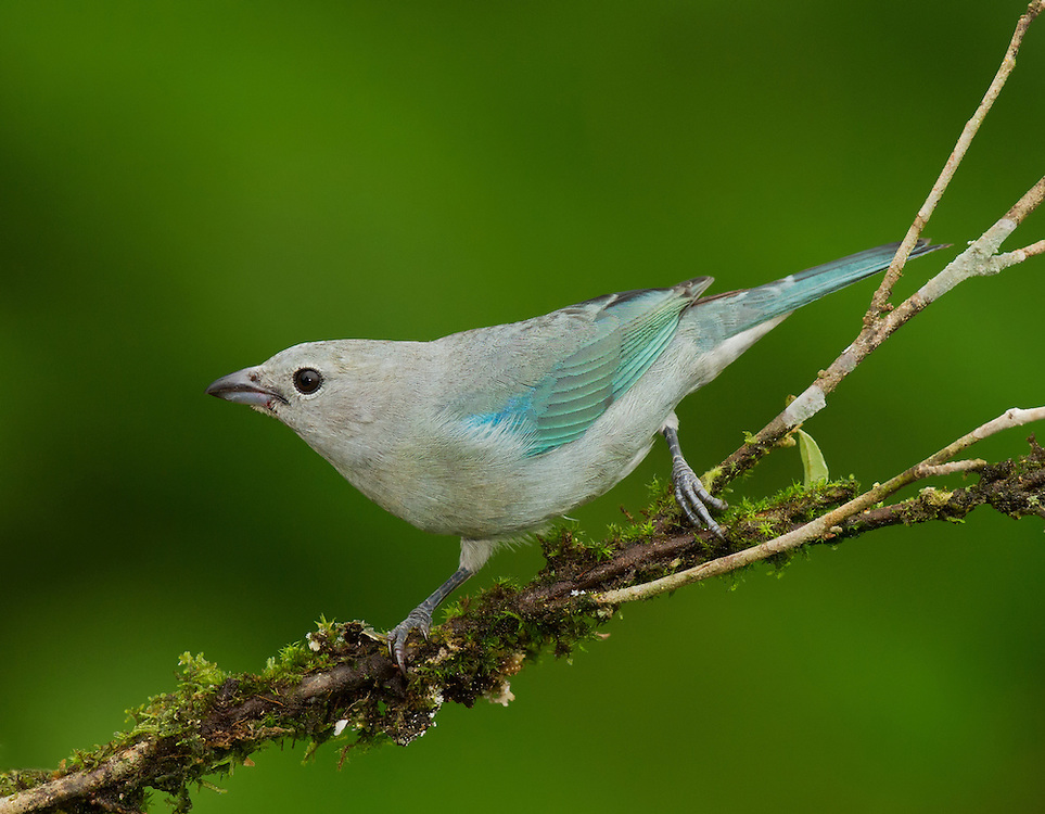 Blue-grey Tanager (Thraupis episcopus) perched on a branch in a Costa Rican rainforest.