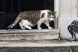 Downing Street, London, August 2nd 2016. Tensions appear to be ongoing in Downing Street as Larry the cat from No. 10 and Palmerston, newly resident at the Foreign Office continue their territorial feud. PICTURED: An intimidated Larry slowly creeps to the door of No 10.
