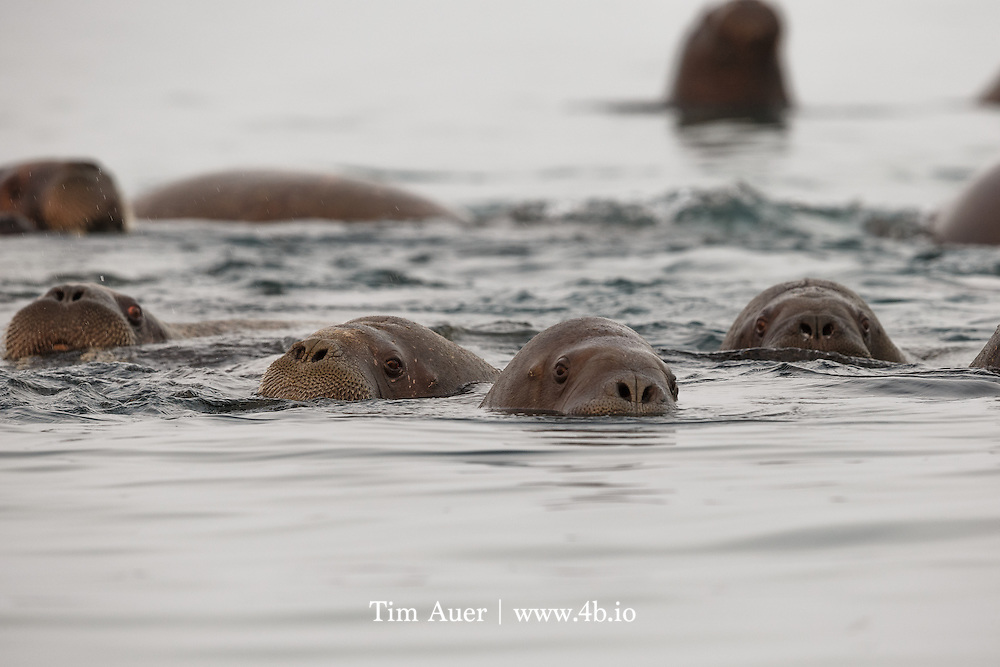 Here Comes Trouble<br /> Arctic Ocean, off shore from Kvit&oslash;ya Island in the Svalbard archipelago<br /> A surfacing walrus snorts air to evacuate water from its nasal passage. <br /> Kvit&oslash;ya, a small island in Svalbard archipelago north eastern corner, is almost fully covered by an ice cap.  In fact, with the exception of two small beaches, an ice cap with average depth of 200m, covers 99% of the island. On the day I was there, one of those beaches had a polar bear, and the other had hundreds of walrus. We explored both beaches from zodiac, but it was the experience at the beach with the walrus that was profoundly moving. <br /> <br /> Manning the zodiacs at midnight, the sun, at 2 degrees altitude, was flirting with dipping beneath the horizon for the first time of the season. The sea was smooth and silky.  The water was so still that ice crystals could be observed at the surface. As we approached the walrus, pockets of dense fog diffused the rich sunlight.  As we glided softly in our zodiac, some of the walrus came to meet us. There were hundreds of them, cycling between land and water, it was like a conveyor belt.