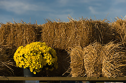 still life of a yellow mum plant and bales of hay