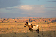 A few summers ago, the pinto stallion, Traveler, gained a family for a time, but it didn't last long. I watched as he valiantly fought to keep his mares, but sadly, he lost them to a more aggressive stallion. Unlike many of the stallions on the range, Traveler is more of a lover than a fighter. He doesn't bear the myriad of battle scars that most stallions do and I was happy to see him looking so well on this morning.