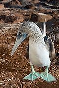 Blue-footed Booby (Sula nebouxii excisa)<br /> North Seymour<br /> Galapagos Islands<br /> Ecuador<br /> South America