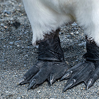 Detail of king penguin feet. King penguins in a massive breeding colony at Gold Harbour on South Georgia Island.