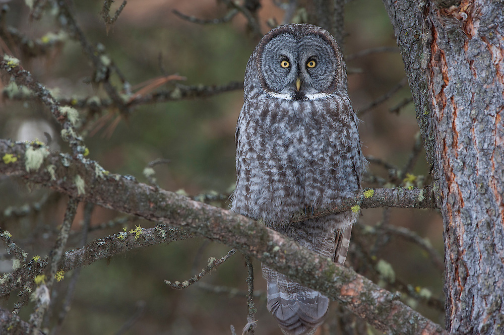 A great gray owl (Strix nebulosa), Missoula, Montana