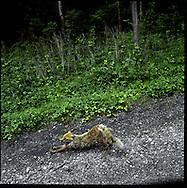 Wild fox stretching after an afternoon nap, Shiretoko National Park, an UNESCO World Heritage Site, Hokkaido, Japan.