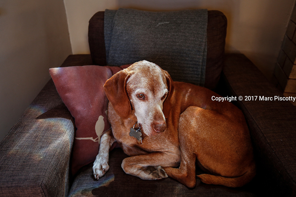 SHOT 1/27/17 1:31:54 PM - Tanner, a 12 year-old male Vizsla, napping on his favorite chair at his home in Denver, Co. The Vizsla, is a dog breed originating in Hungary. The Hungarian or Magyar Vizsla represents one of the best in sporting dogs and loyal companions and has a strong claim to being one of the smallest of the all-round pointer-retriever breeds. The Vizsla's size is one of the breed's most attractive characteristics and through the centuries he has held a unique position for a sporting dog -- that of household companion and family dog. The Vizsla is a natural hunter endowed with a good nose and an above average trainability. Although they are lively, gentle mannered, demonstrably affectionate and sensitive, they are also fearless and possessed of a well-developed protective instinct.<br /> (Photo by Marc Piscotty / &copy; 2017)