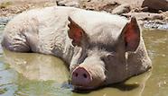 Farm Sanctuary/Animal Acres
