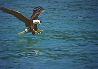 Bald Eagle (Haliaeetus leucocephalus) catching a fish in Gastineau Canel, Southeast Alaska.