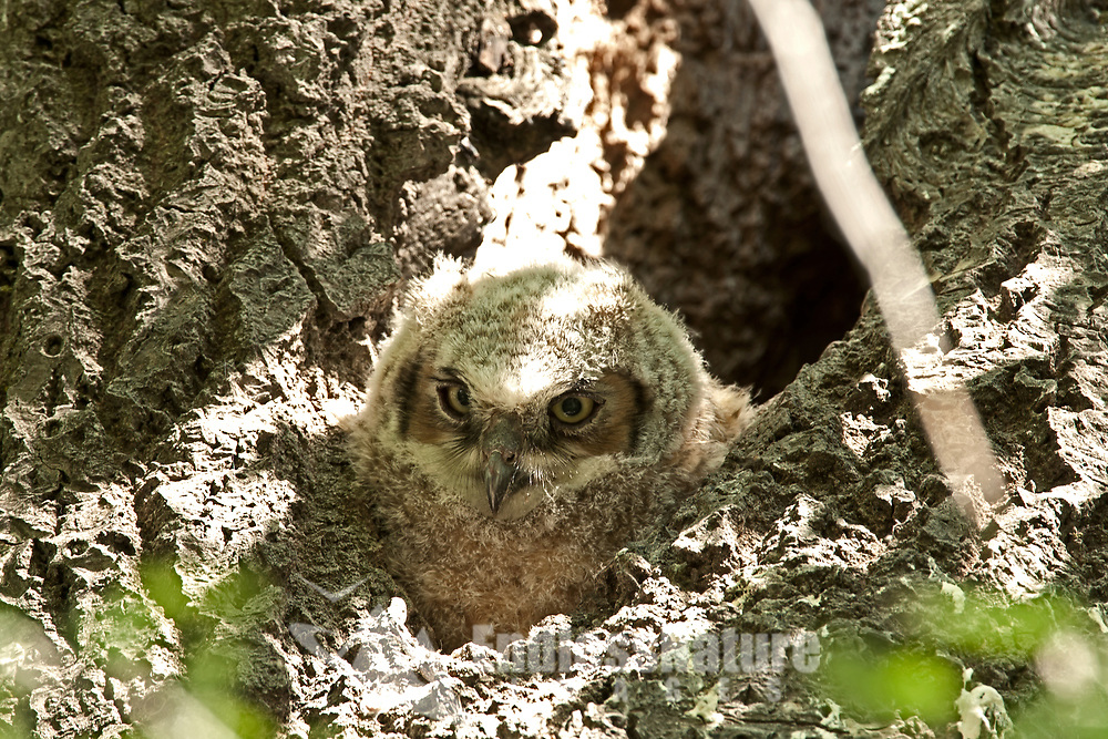 Great Horned Owlet watching the new world from its nesting cavity in a hollow tree.