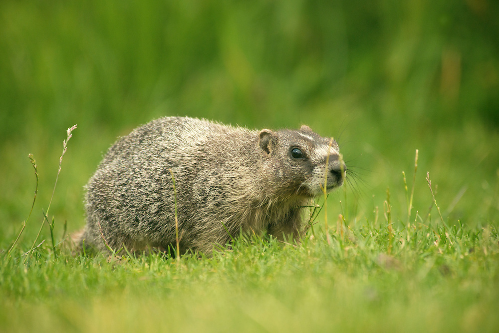 Marmot researchers.
