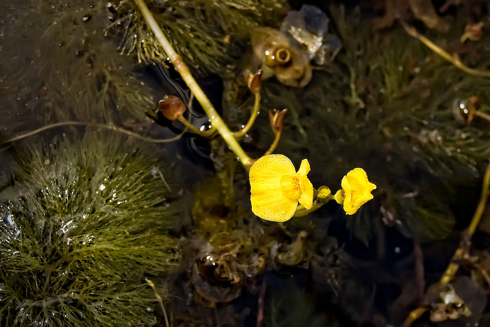 The aquatic leafy bladderwort growing in the flooded prairies of the Big Cypress National Preserve in Southwest Florida.
