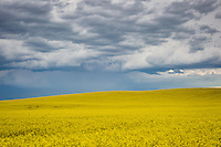 An ominous black sky looms large over a golden Canola field on the prairie east of Calgary.<br /> <br /> &copy;2011, Sean Phillips<br /> http://www.RiverwoodPhotography.com