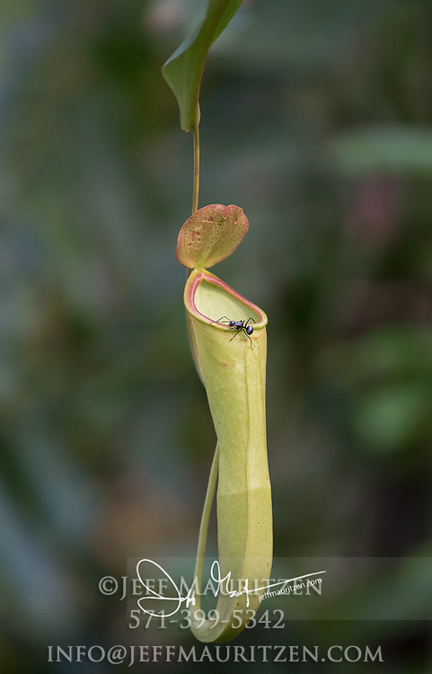 Ant on a pitcher plant in Tanjung Puting national park, on the island of Borneo, Indonesia.