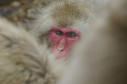 A snow monkey looks through a pack of monkeys at the camera in the hot springs in Japan.