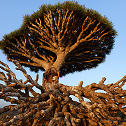Broken Dragon's Blood Tree (Dracaena cinnabari), endemic to island, Diksam Plateau, central Socotra Island, listed as World Heritage by UNESCO, Aden Governorate, Yemen, Arabia, West Asia