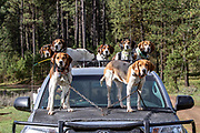 Loaded for bear. Walker hound Ranger (front left) leads the pack during an Idaho bear spring hunt.