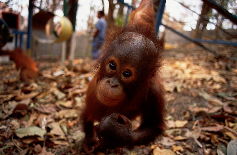 Orang Utan sanctuary Wanariset Samboja, threatened by forest fires, Indonesia Accession #: 0.98.111.001.05