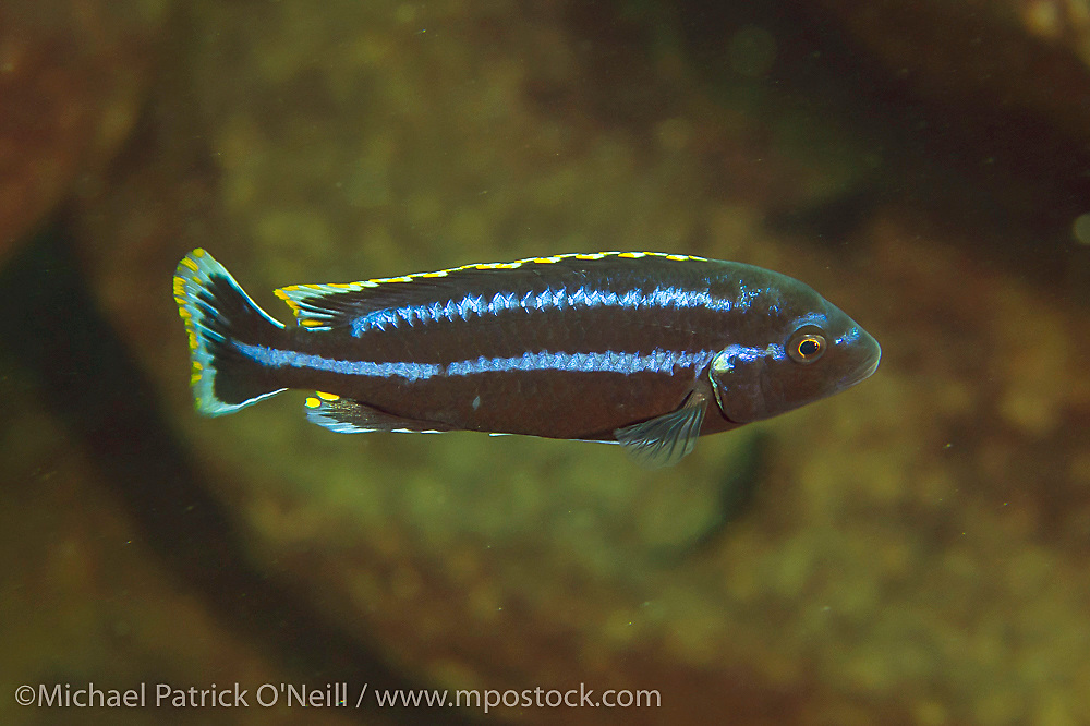 Dominant male Melanochromis sp. patrols a deep reef offshore Likoma Island, Lake Malawi, Africa. This species is omnivorous and feeds on algae, plankton, invertebrates and even the fry of much larger predators.