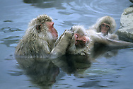 Japanese Macaque Macaca fuscata Length to 50cm aka Snow Monkey. Range restricted to Japan, in areas of winter snowfall. Fur is grey-buff and face is reddish and essentially hairless.