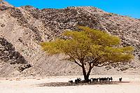 Goats seeking shelter under an acacia tree in the Eastern Desert