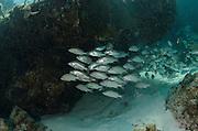 Mahogany Snapper (Lutjanus mahogoni)<br /> Hol Chan Marine Reserve<br /> near Ambergris Caye and Caye Caulker<br /> Belize<br /> Central America