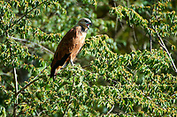 Black-collared Hawk (Busarellus nigricollis), The Pantanal, Mato Grosso, Brazil Photo by: Peter Llewellyn
