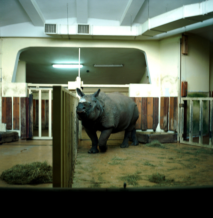 Warsaw Zoo, Poland, 16/12/2009. Rhinoceros Unicornis (Linnaeus, 1758).