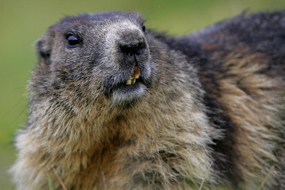 Alpine Marmot (Marmota marmota) portrait. Hohe Tauern National Park, Carinthia, Austria