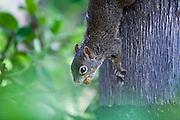 Nova Lima_MG, Brasil...Esquilo (Sciurus aestuans) se alimentando de coquinho de palmeira...A squirrel (Sciurus aestuans) eating a small coconut on palm tree...Foto: JOAO MARCOS ROSA / NITRO