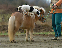 dog standing on miniature horse
