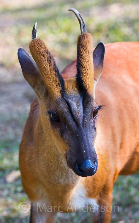 Barking Deer, Muntiacus muntjak, Khao Yai National Park, Thailand