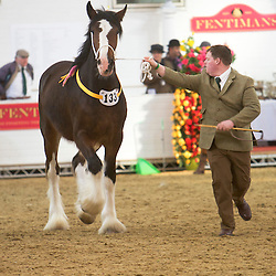 Mr Gary Clough's Laurel Bank Queen Victoria<br /> Shown by Craig Wilkins<br /> f  2012<br /> Sire  Boothay Richard<br /> Dam  Dothan Ruby